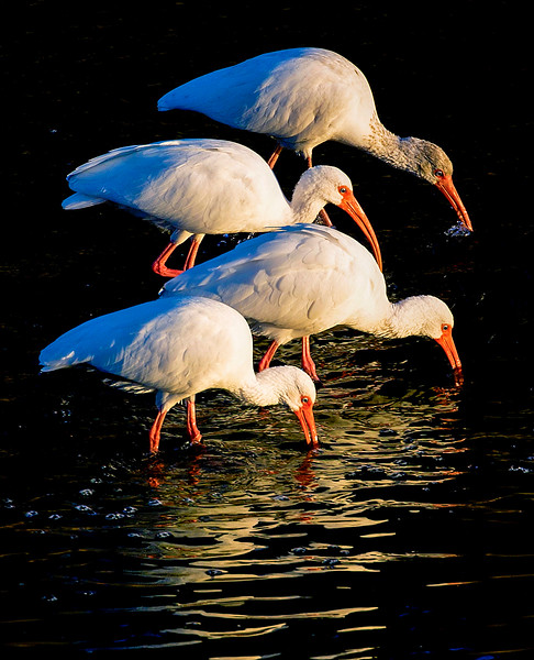 Four White Ibis foraging