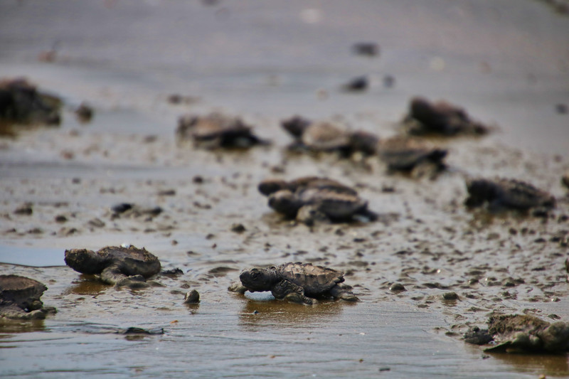 New born turtles going back to the ocean for the first time in Costa Rica