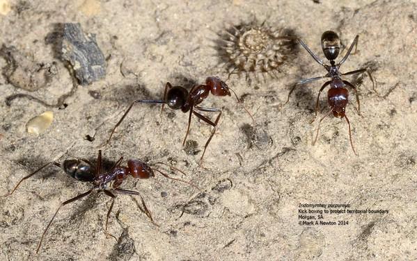 Iridomyrmex purpureus - Meat Ant