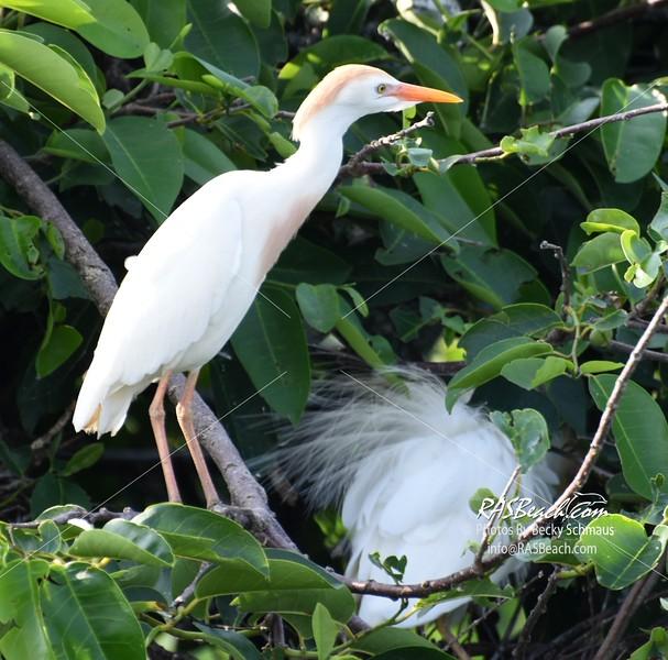 Cattle Egret in the Wakodahatchee Wetlands, Palm Beach