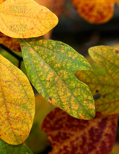 Sassafras Leaves (Sassafras albidum).  Sassafras trees have polymorphic leaves, which means they have three clearly different leaves.  This photo features a Mitten-shaped Leaf.