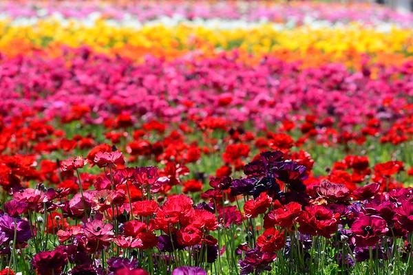 Flower Fields of Carlsbad Gallery