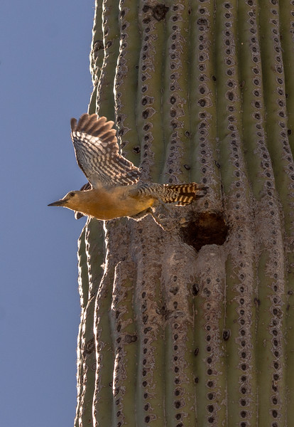 Gila Woodpecker Flies from Nest Hole #1