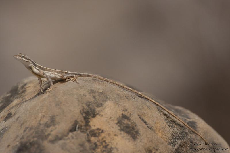 Unidentified lizard - Kutch, Gujrat, India
