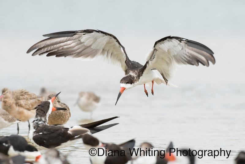 Black Skimmer Flying In.jpg