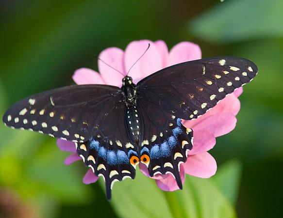 Eastern Black Swallowtail_QBG_Aug1002.jpg