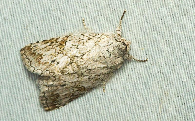 Prominent moth, Rifargia sp. (Notodontidae) from Panama.