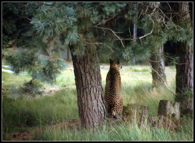 DAN 311 ghepardi h.jpg