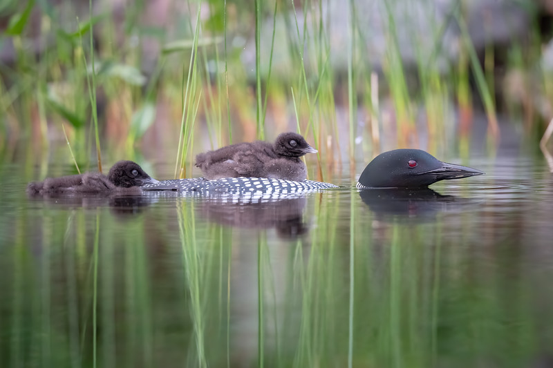 #1469 Common Loons