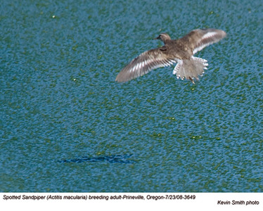 SpottedSandpiper3649.jpg