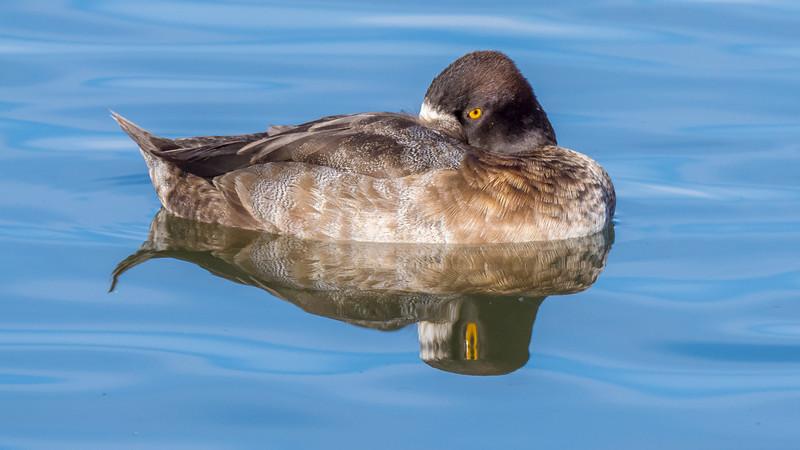 00 0070 Ring Neck Duck Female 0030 16x9.jpg