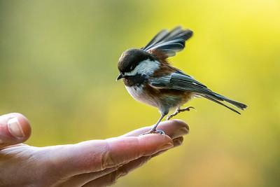 Chestnut-backed Chickadee [Poecile rufescens]