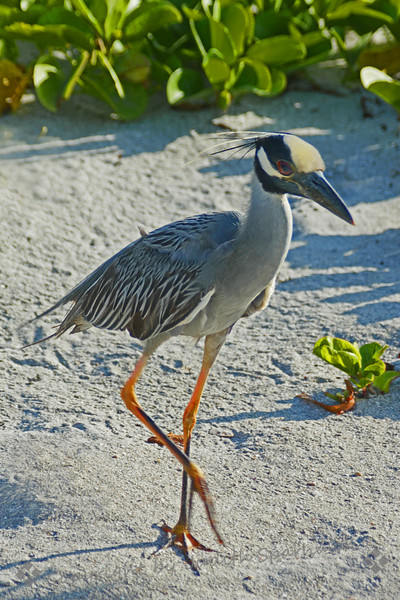 Yellow-crowned Night Heron ~ This small heron was walking on the beach at Dania Beach State Park, near Ft. Lauderdale.