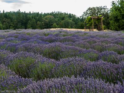 07-15-2018 English Lavender Farm