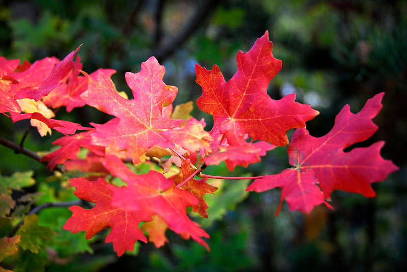2011/10/8 – I love the colors of fall. I drove up to Sundance Ski Resort to check out the snow that had fallen this past week. Most of the snow had melted, but I found this wonderful maple tree with bright red leaves. I wanted to bring them home but left them for someone else to enjoy.