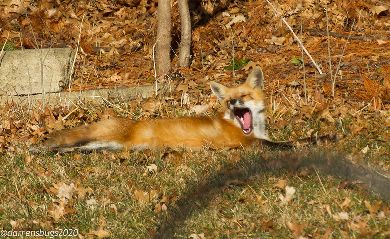 I'm honored that our local red fox decided to take a nap in our yard.