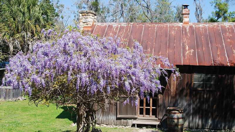 Hyacinth bloom in front of old home with tin roof