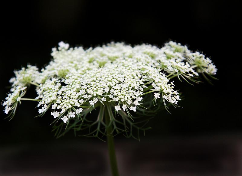 Wild flower, Queen Ann's lace