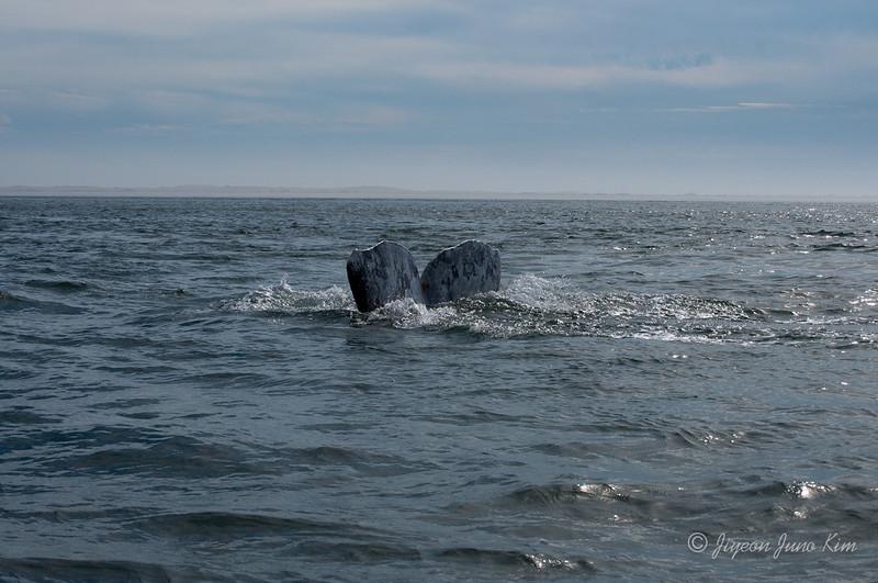 Mexico-Loreto-Whale-2491.jpg