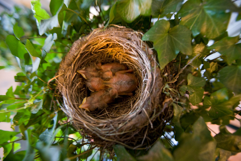 Baby Robins  I had to take this quickly before the mama came back.