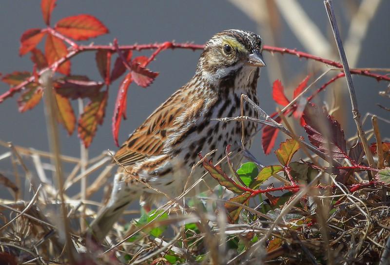 zzAnahuac,2-16-16 248A Savannah Sparrow.jpg