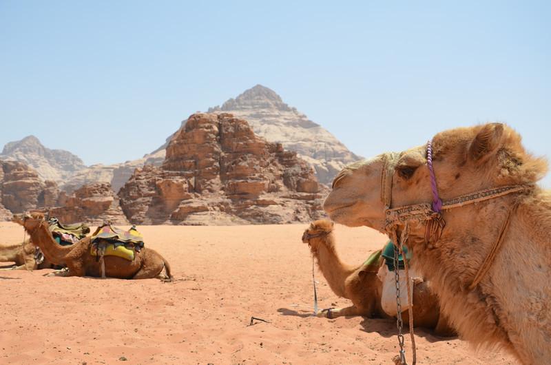 DSC_9457-wadi-rum-camels.JPG