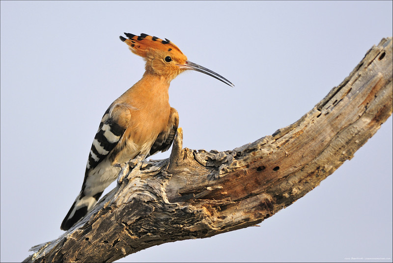 Common-Hoopoe-02.jpg