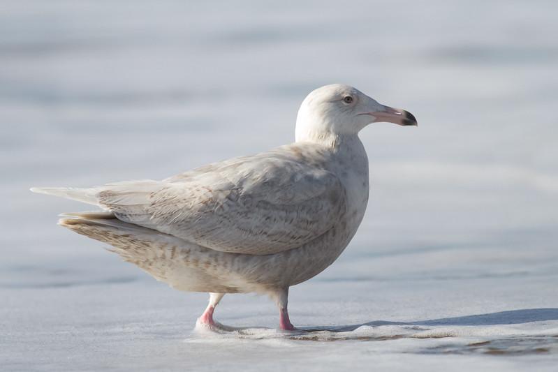 Glaucous Gull - Half Moon Bay, CA, USA