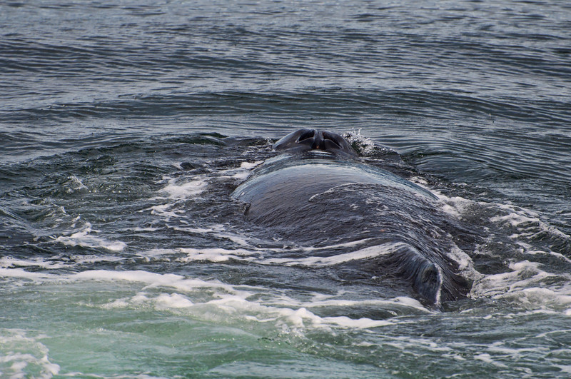 The back of a whale as he surfaces for a moment.  The blowhole is visible.