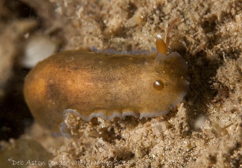 Dendrodoris nigra