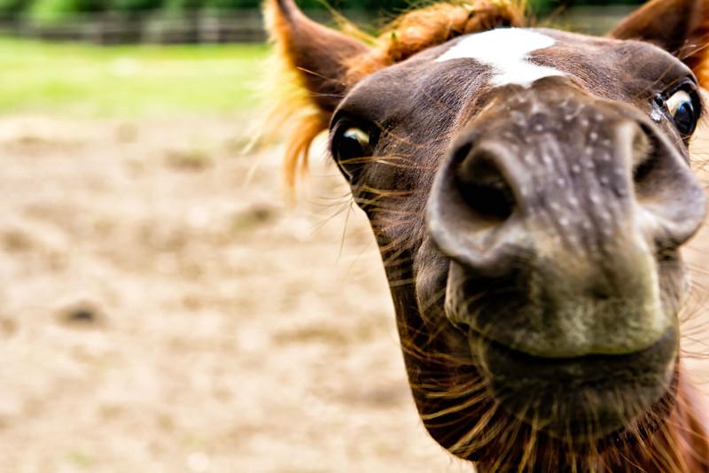 Vermont_Morgan Horse_122.jpg