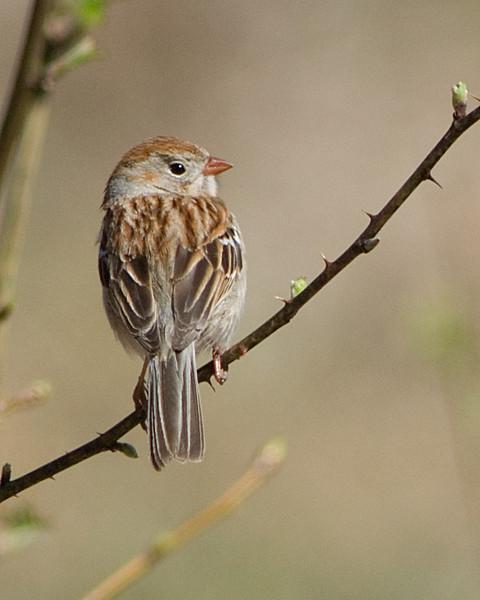 Field Sparrow  Huntley Meadows