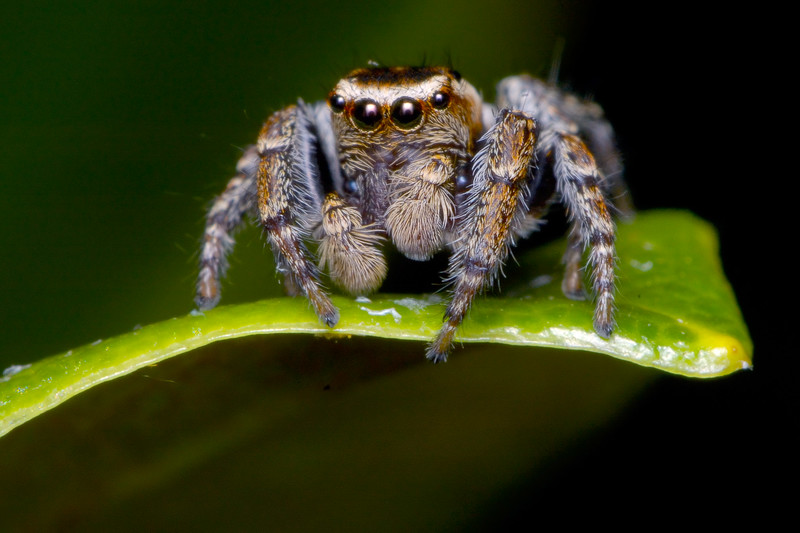 jumpingspider2xtcreversed50.jpg