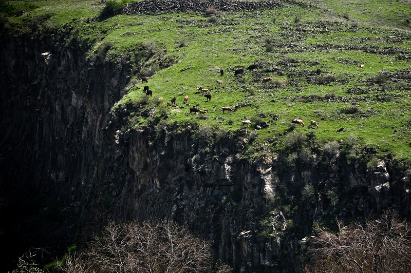В Армении даже коровы такие бесстрашные, что они пасутся на отвесных скалах. Каким образом они все не падают вниз к .... .... я уму не приложу.