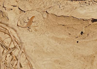 November Lizards, near Wallula Junction, 11-6-15
