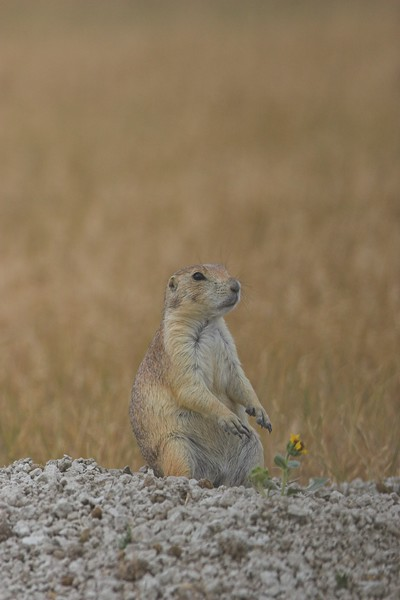 Black-tailed Prairie Dog,  Badlands National Park