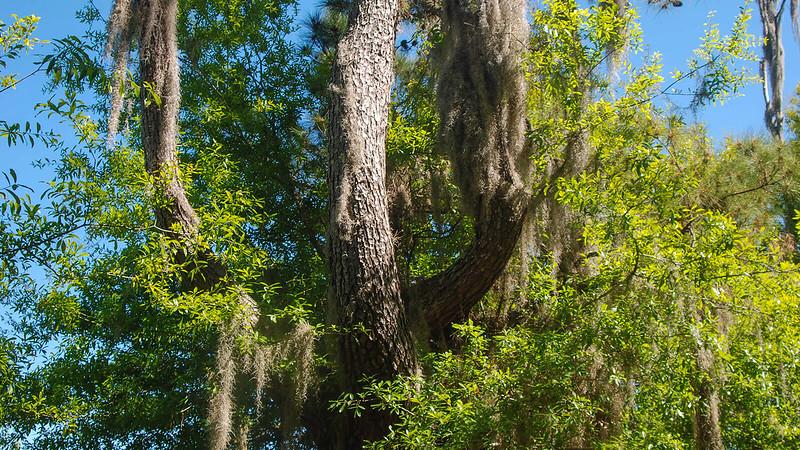 Pine trunk like pitchfork