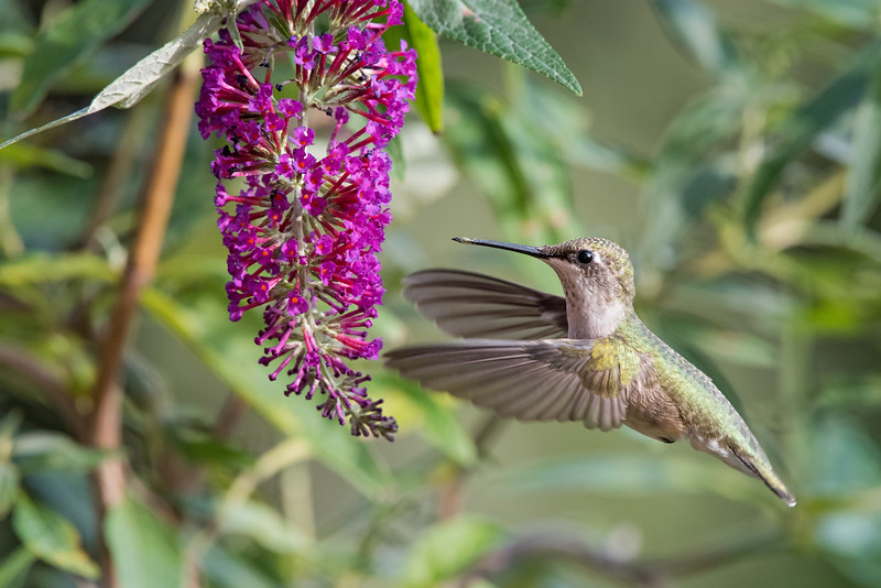 Hummingbird at Hot Pink butterfly bush 2