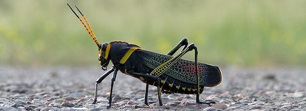 Grasshopper Lubber.jpg