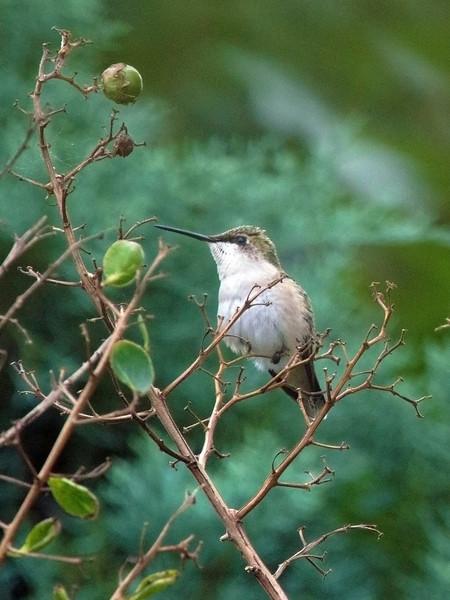 hummingbirdintwigs.jpg