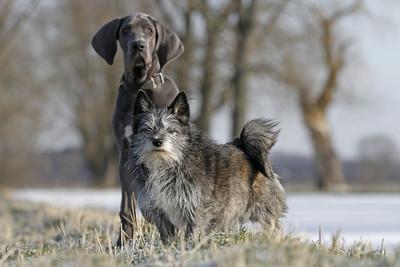 Deutsche Dogge 16 Wochen alt