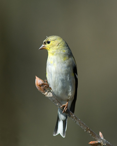 American Goldfinch  Shawnee Lookout