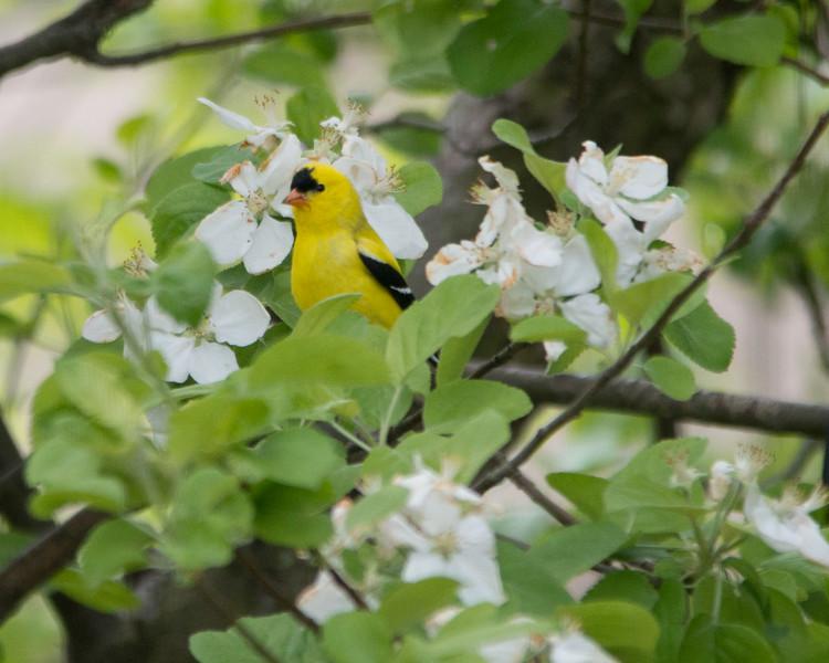 American goldfinch in spring.jpg