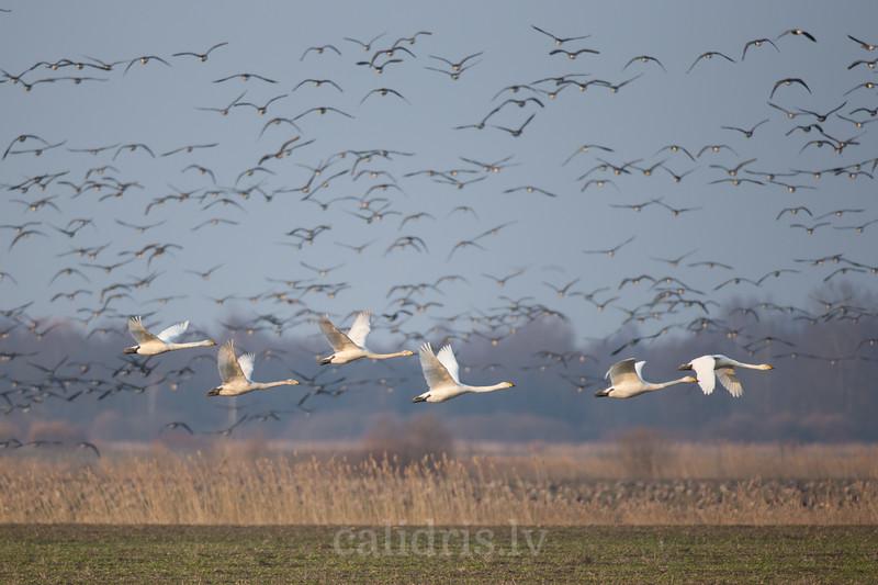 Ziemeļu gulbji lodo pāri laukam ar zosu baru fonā pavasara migrācijas laikā