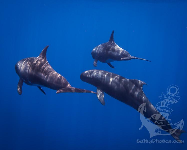 Pygmy Killer Whale (Feresa Attenuata)