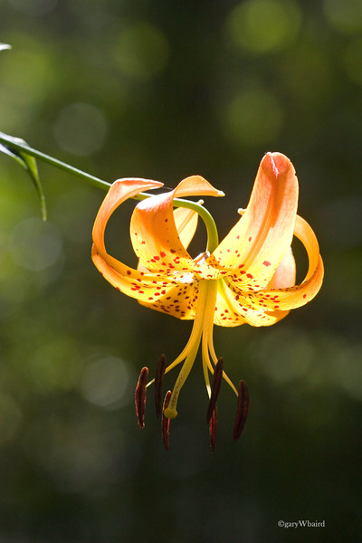 Turks Cap Lilly