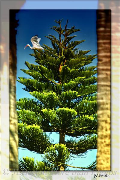 White Ibis in pine tree Port Charlotte, Florida, USA