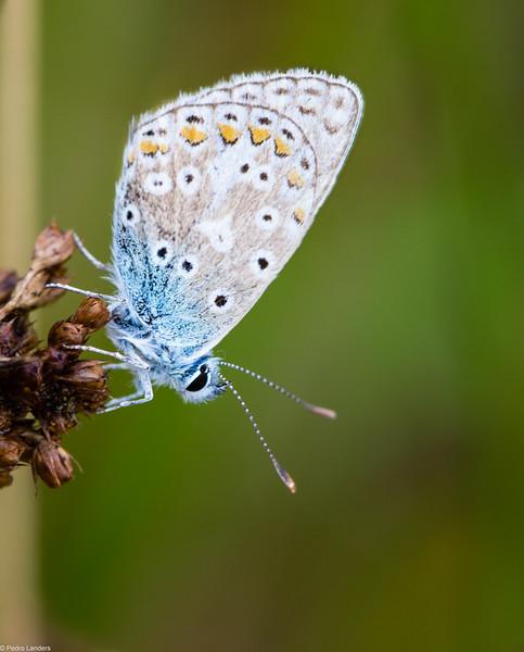 Common Blue 3