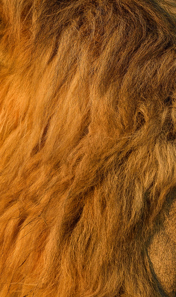 Golden-locks-lion-tanzania.jpg