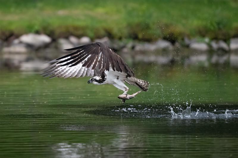 #1617 Osprey